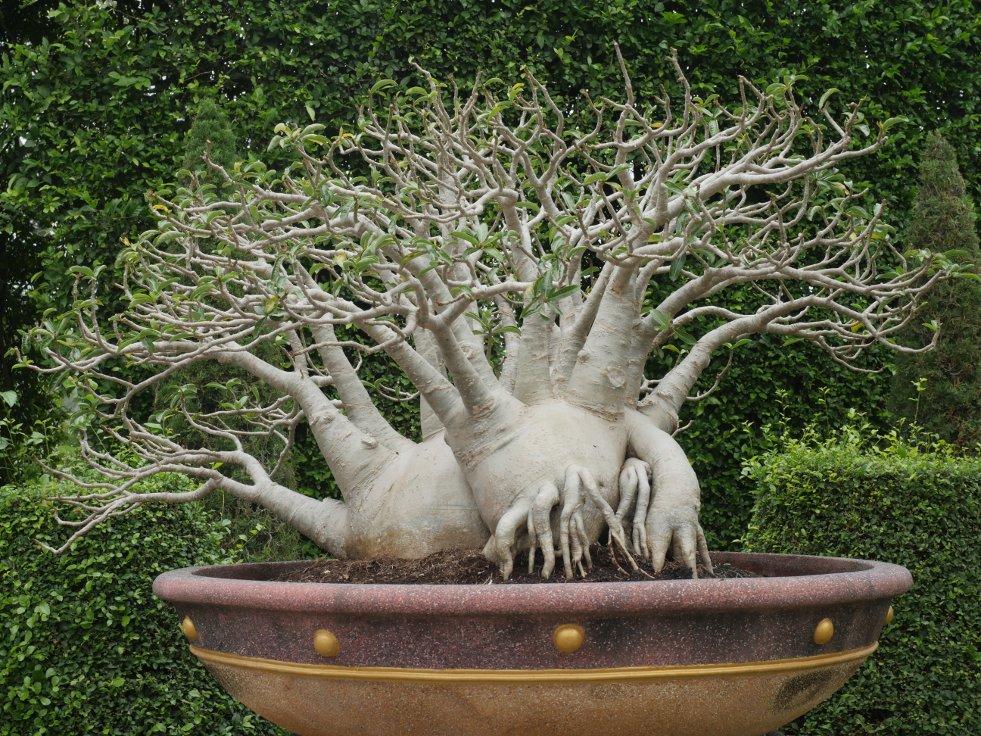 Adenium obesum bonsai