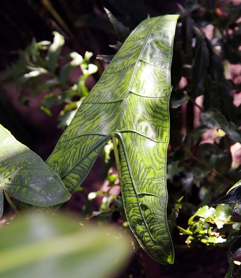 Alocasia zebrina 'Reticulata'