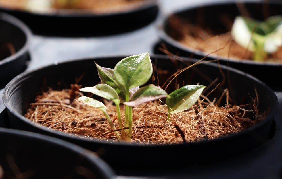 Anthuriumkiemplant
