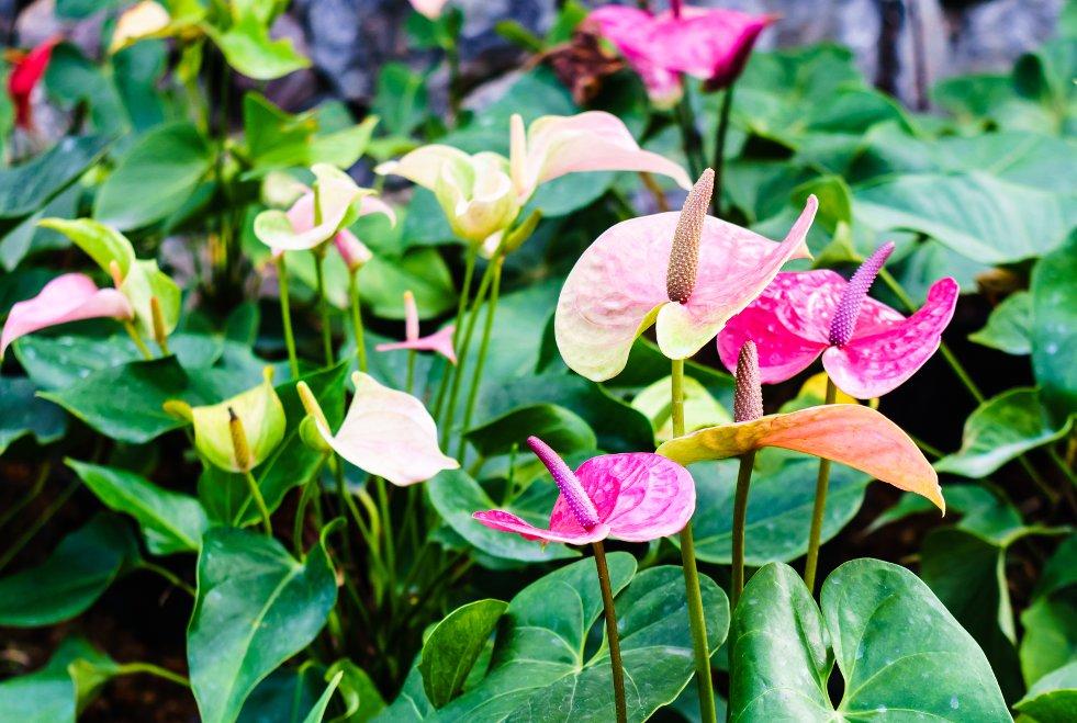 Anthurium afbeelding 5