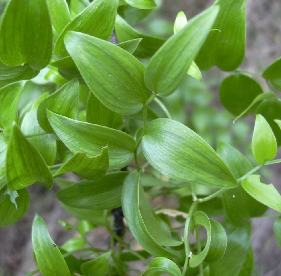 Asparagus asparagoides afbeelding 2