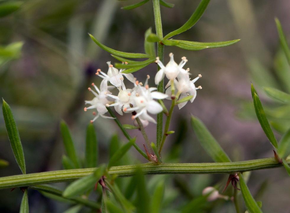 Bloeiwijze Asparagus densiflorus