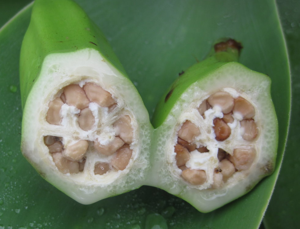 Musa basjoo-banaan