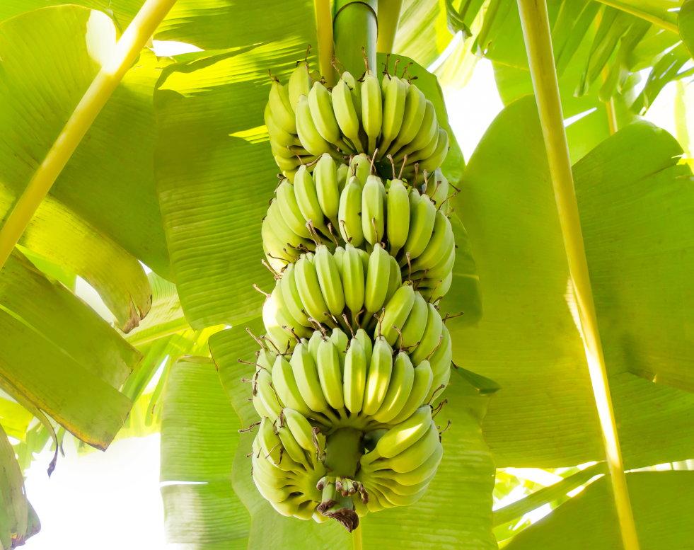 Tros bananen aan plant
