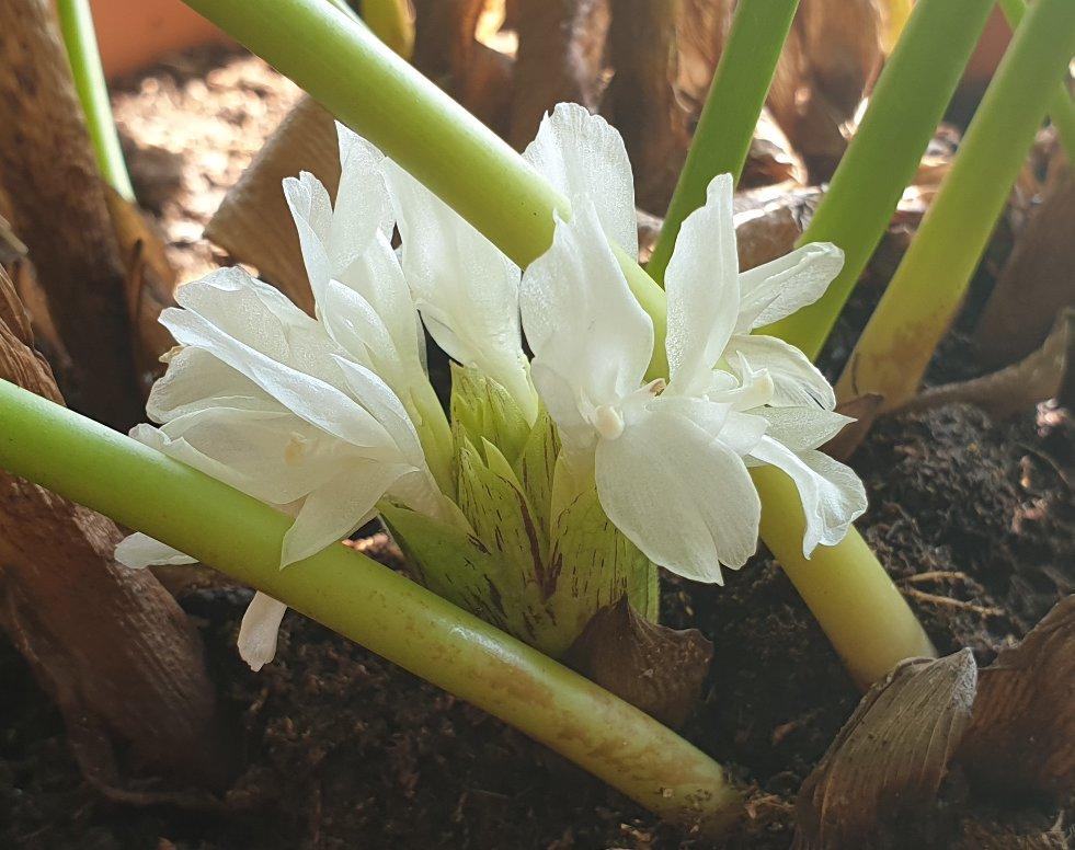 Calathea musaica Network bloeiwijze