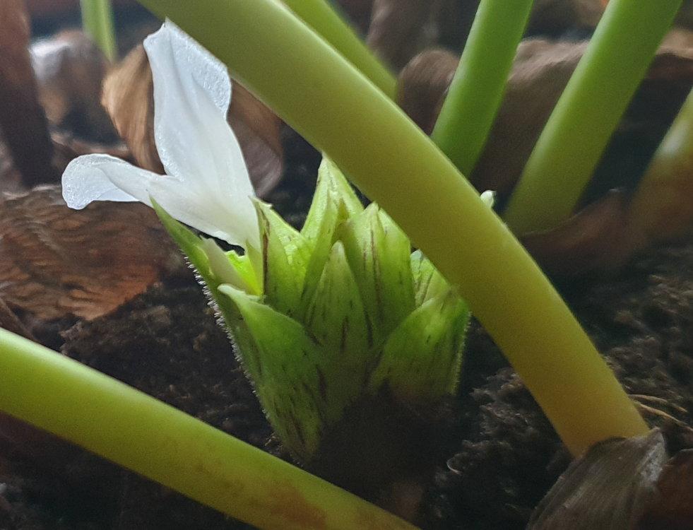 Calathea musaica 2 EF 981.jpg