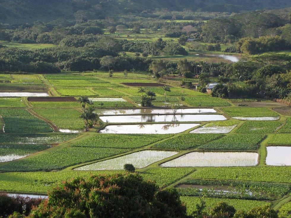 Plantage van Colocasia esculenta