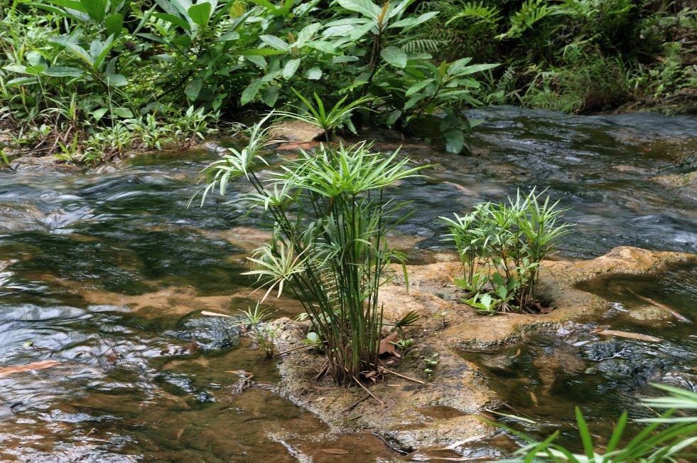 Cyperus alternifolius afbeelding 2