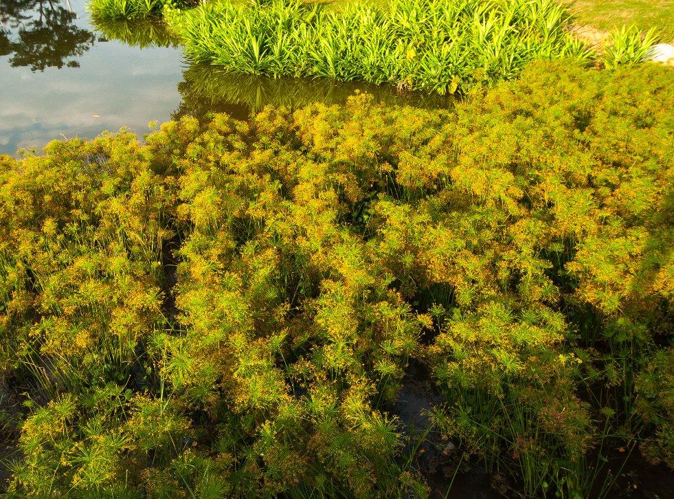 Cyperus haspan afbeelding 2