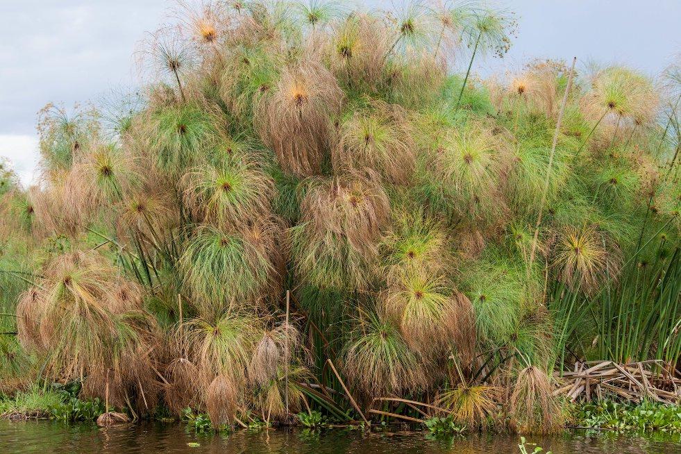 Cyperus papyrus afbeelding 4