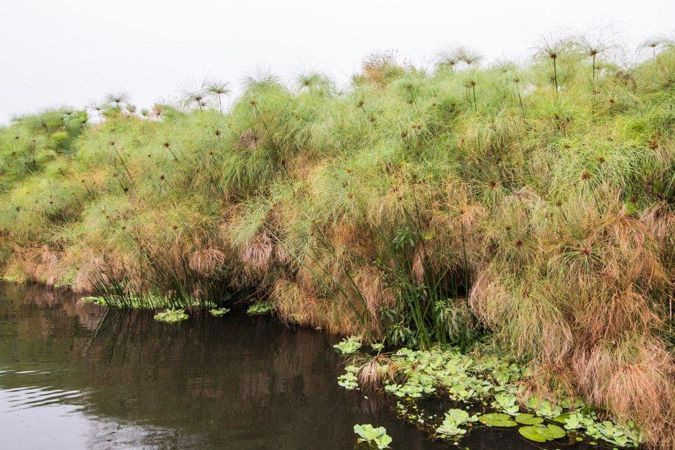 Cyperus papyrus afbeelding 2