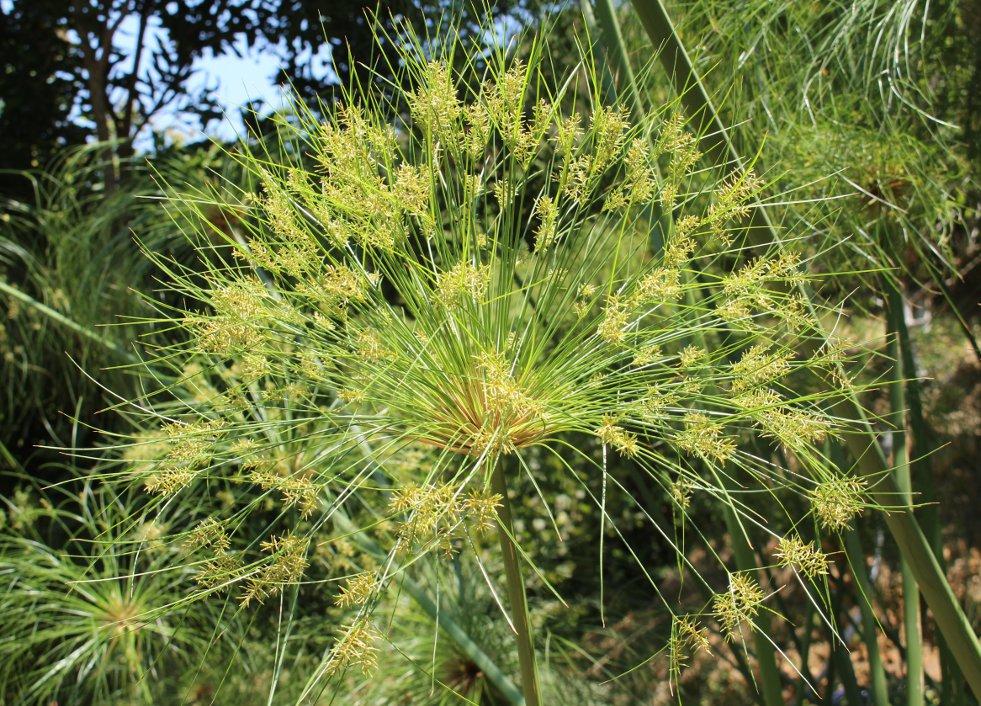 Bloeiwijze Cyperus papyrus