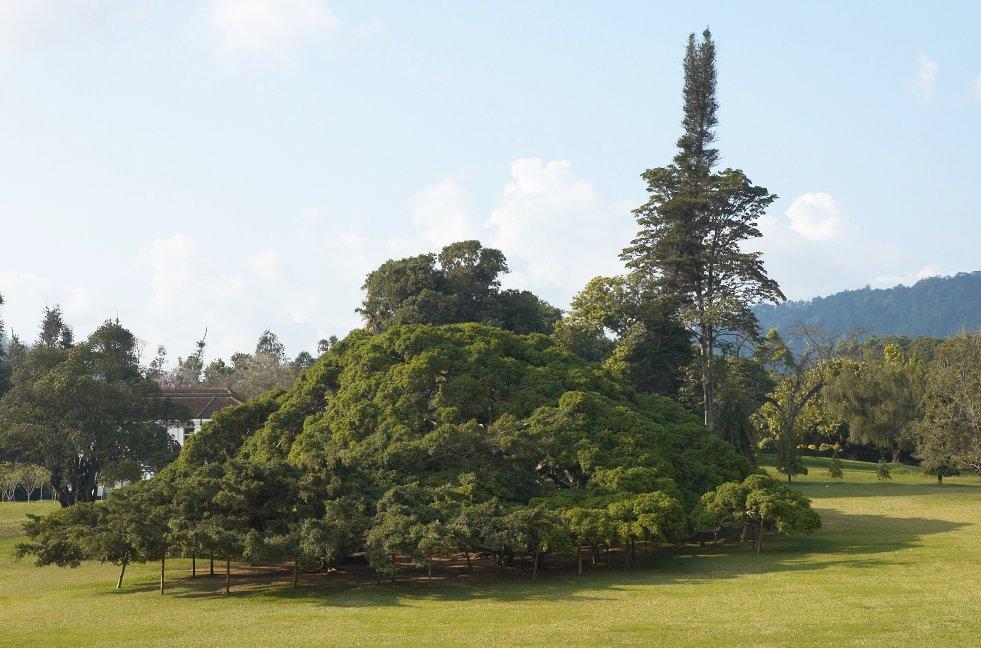 Ficus benjamina afbeelding 2