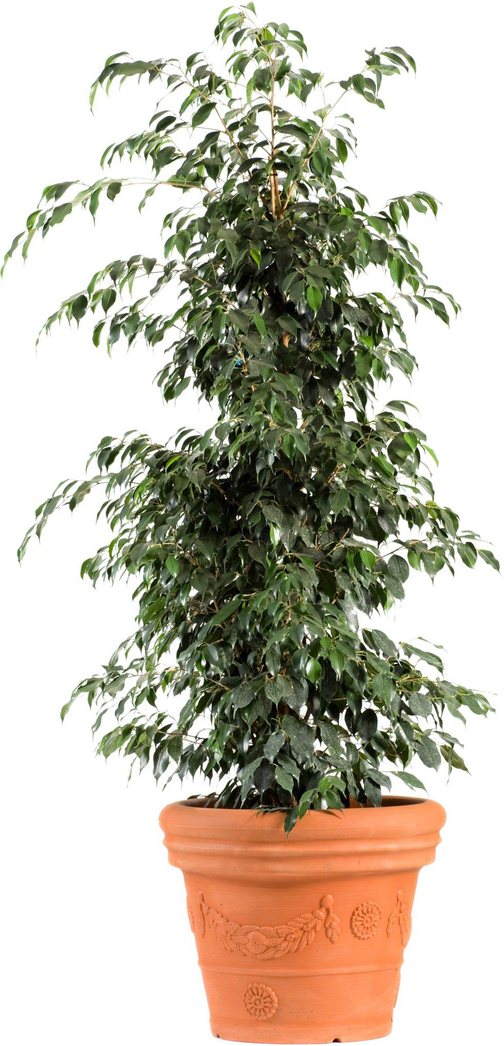 Ficus benjamina afbeelding 3
