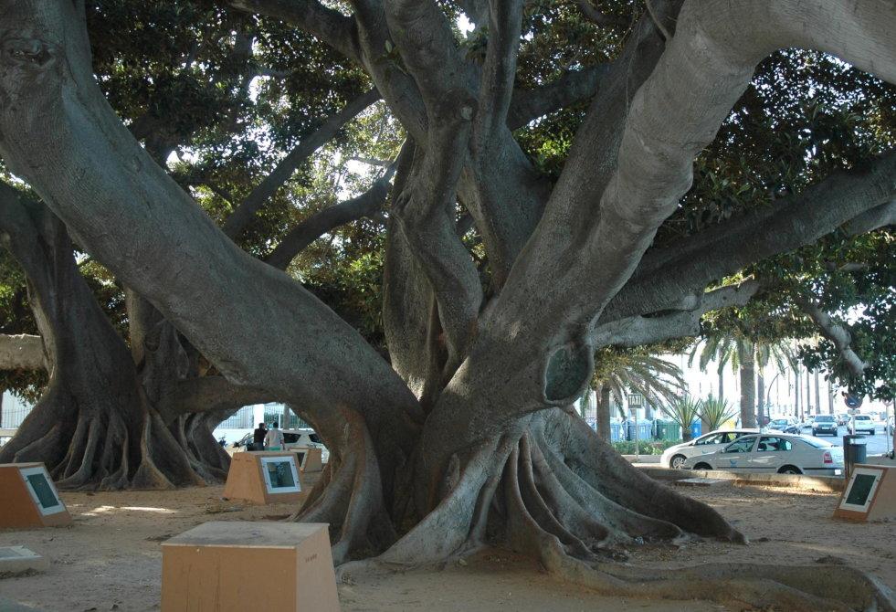 Ficus elastica in Cádiz