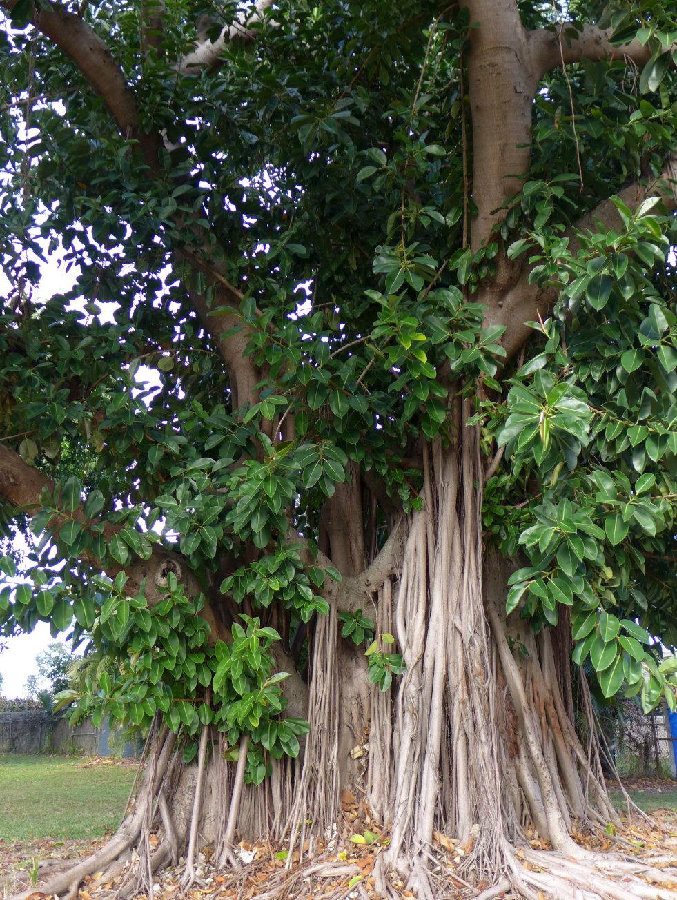 Ficus elastica groeiwijze in de tropen