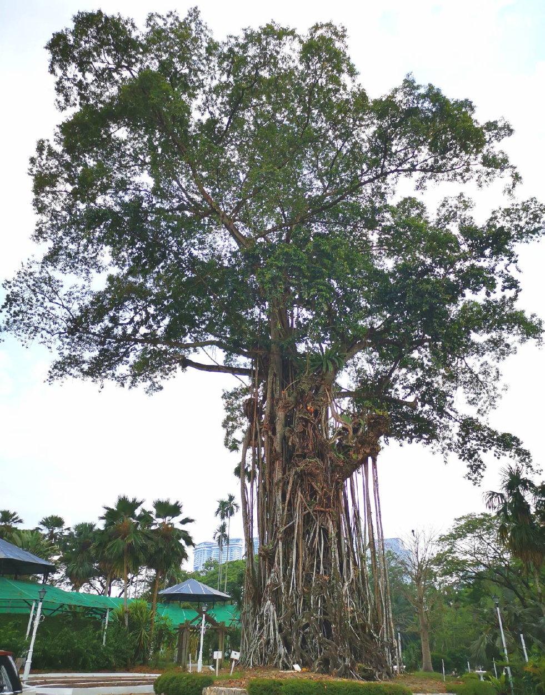 Groeiwijze Ficus elastica