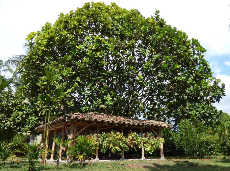 Ficus lyrata afbeelding 2