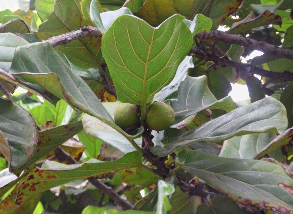 Bloeiwijze Ficus lyrata