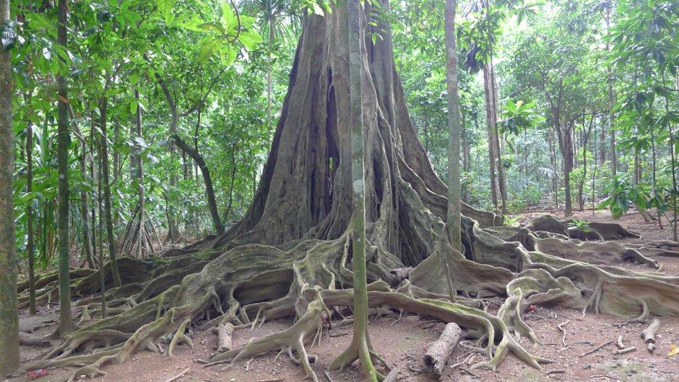 Ficus microcarpa afbeelding 4