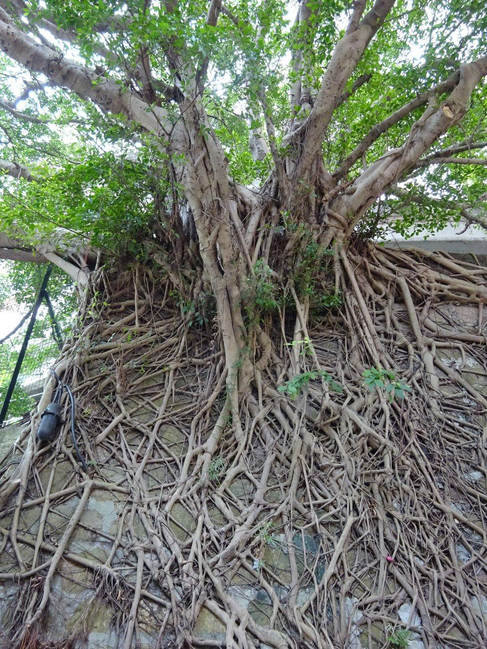 Ficus microcarpa afbeelding 2