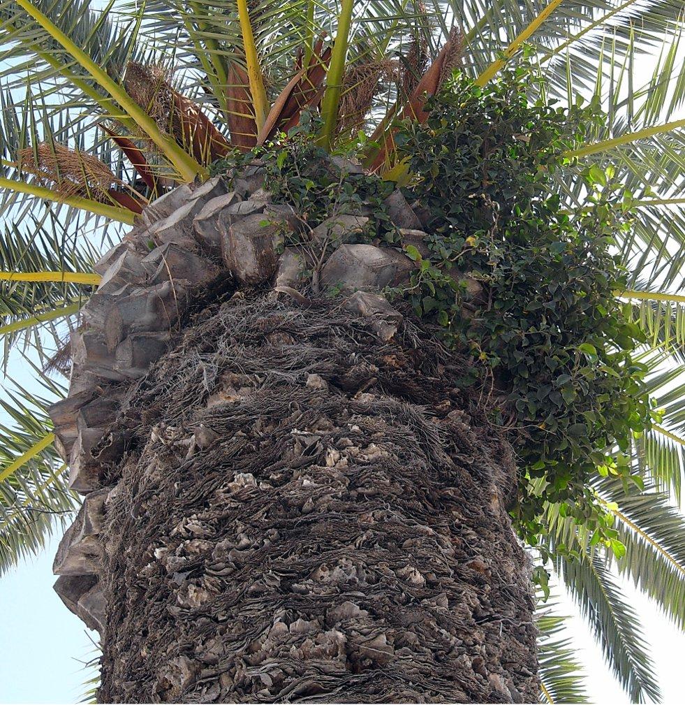 Ficus microcarpa afbeelding 3