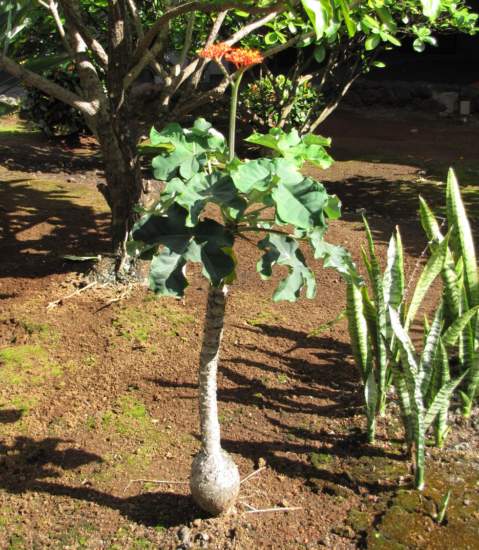 Jatropha podagrica afbeelding 2
