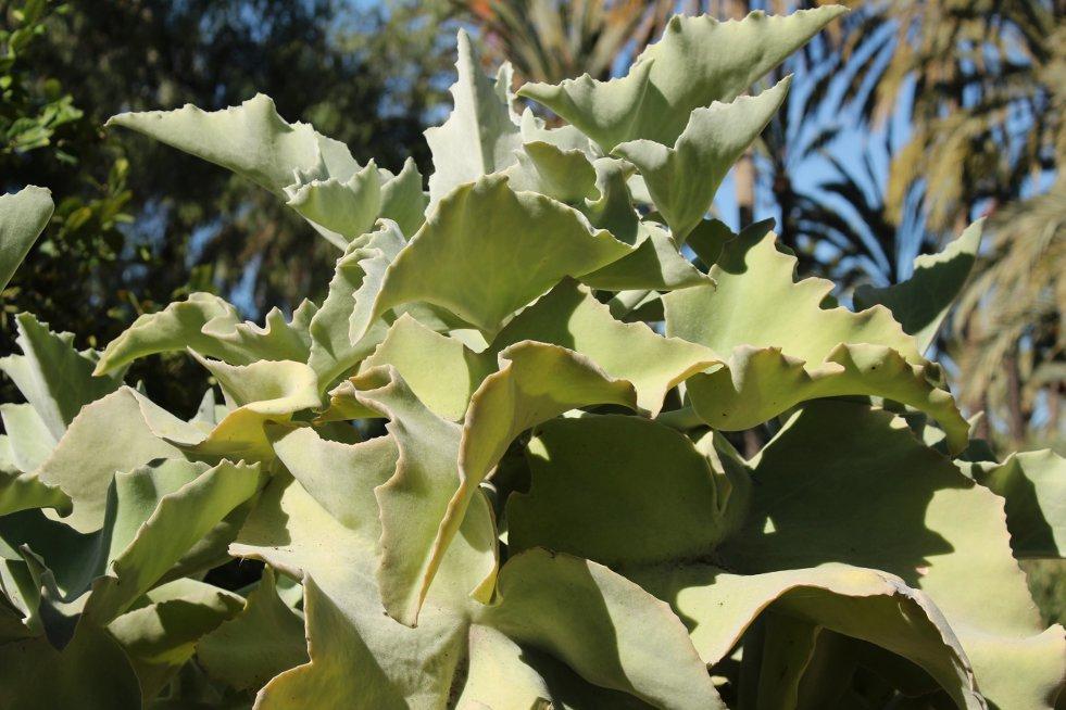Kalanchoë  beharensis
