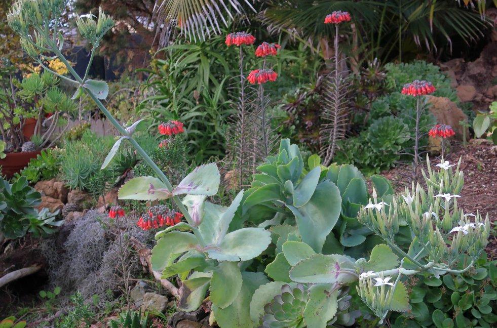 Kalanchoë marmorata bloeiwijze