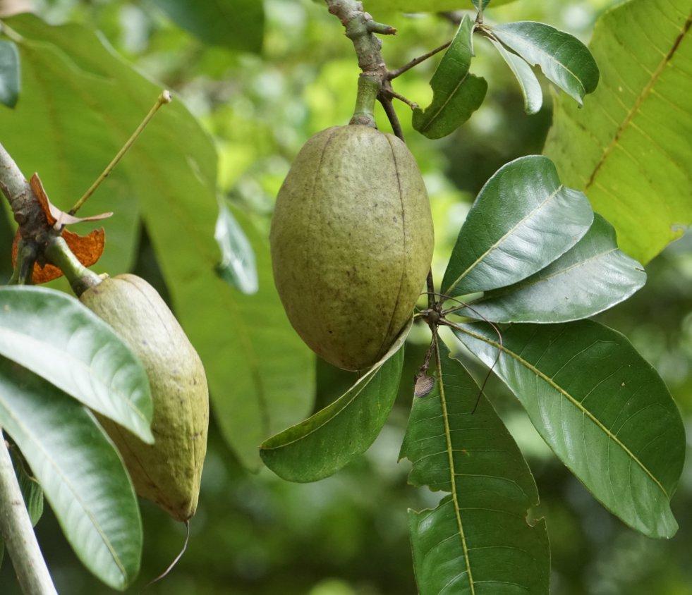Vruchten pachira aquatica