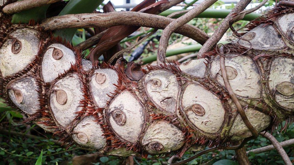 Philodendron bipinnatifidum afbeelding 2