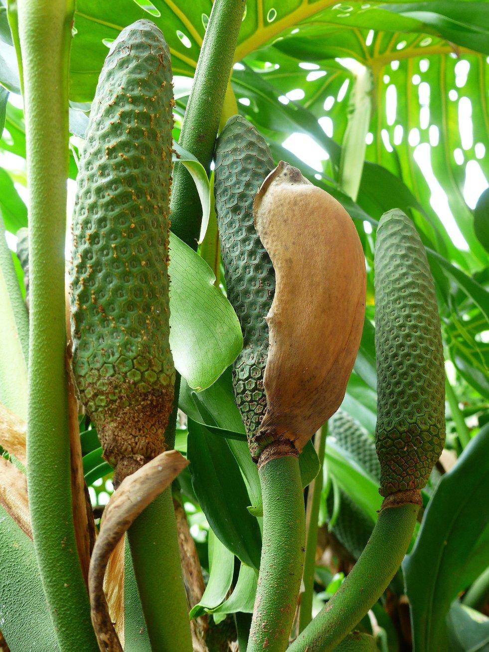 Bloeiwijze Philodendron bipinnatifidum