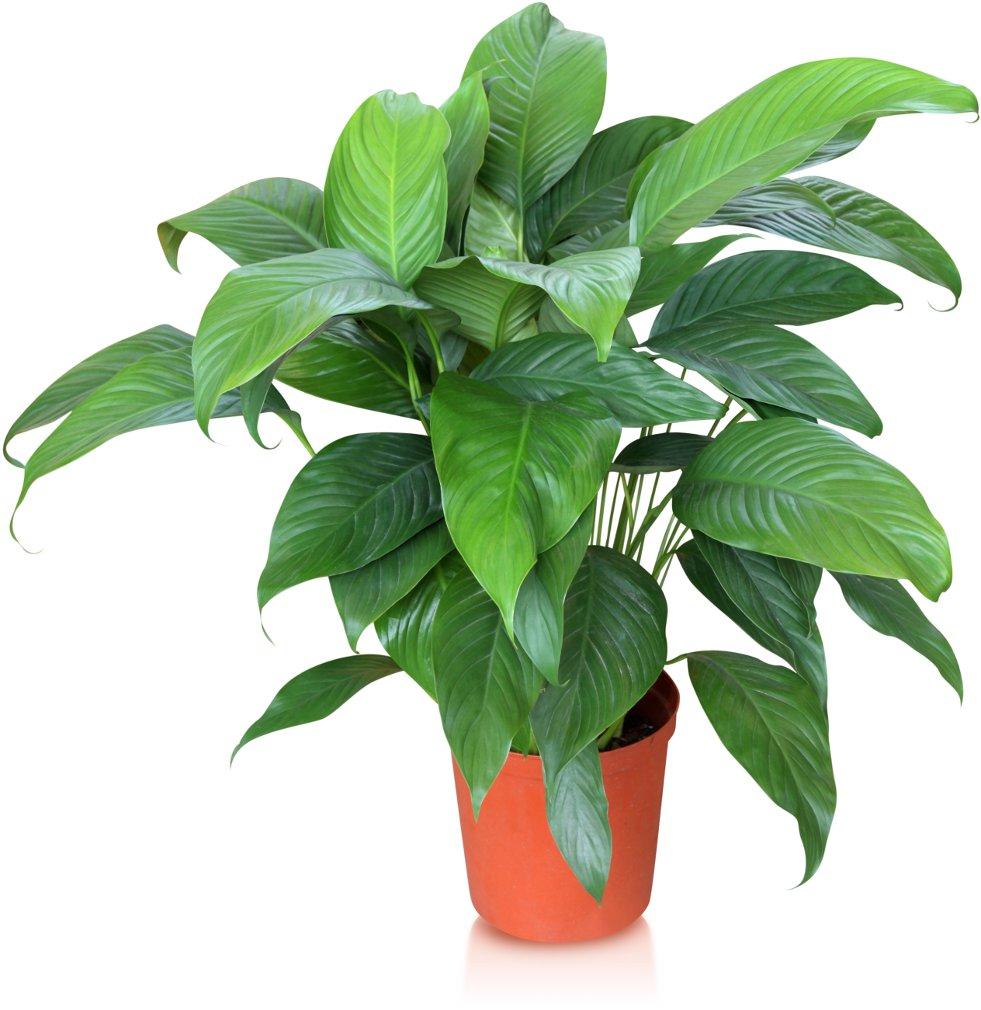 Spathiphyllum afbeelding 3